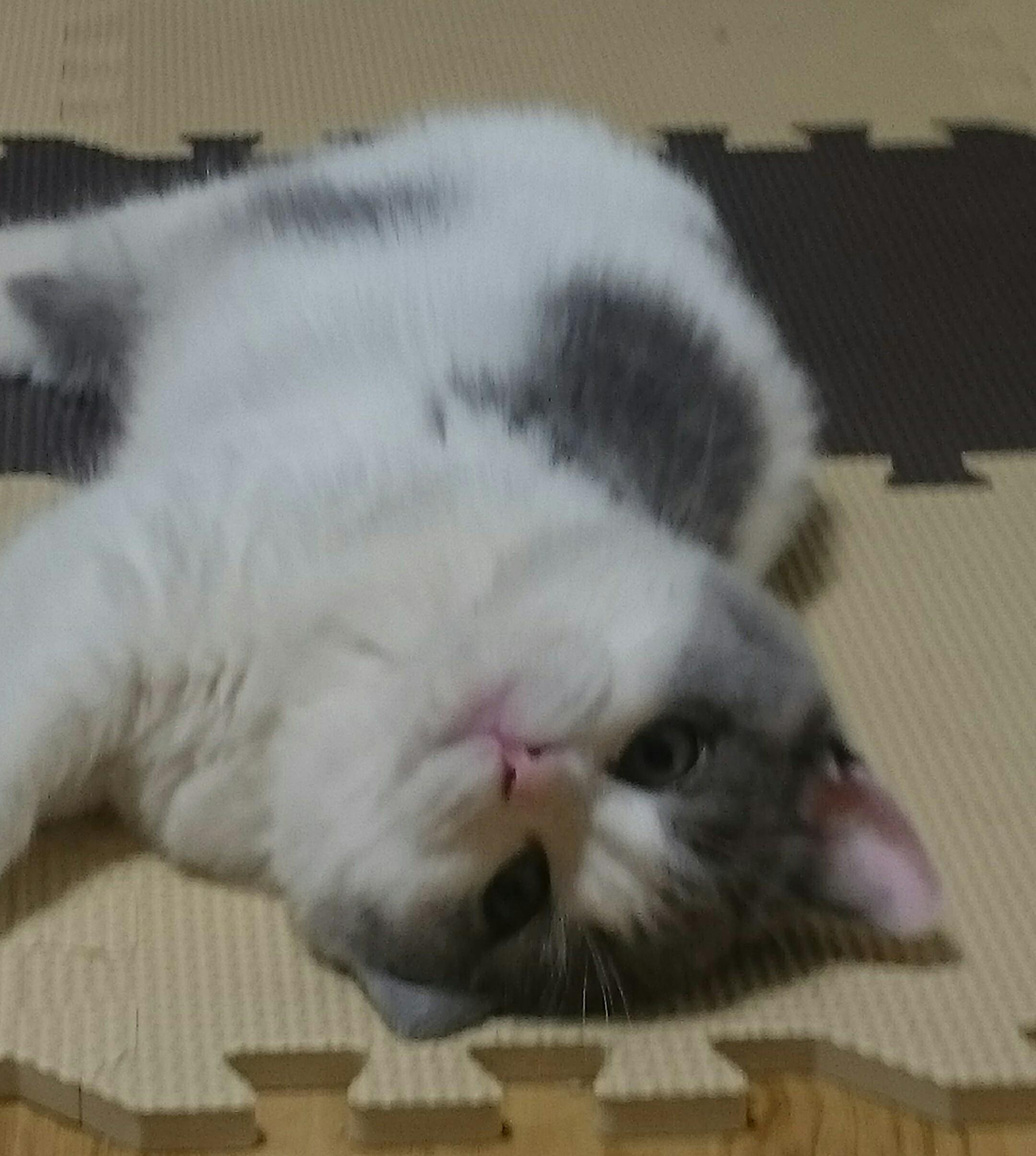 【動画】子猫さん用の餌チュールがやばい、餌をもらえないと暴れだす猫も多発・・・・・