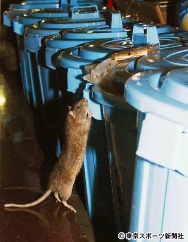 【速報】人が居なくなった渋谷に大量のネズミ発生。50cm超えも