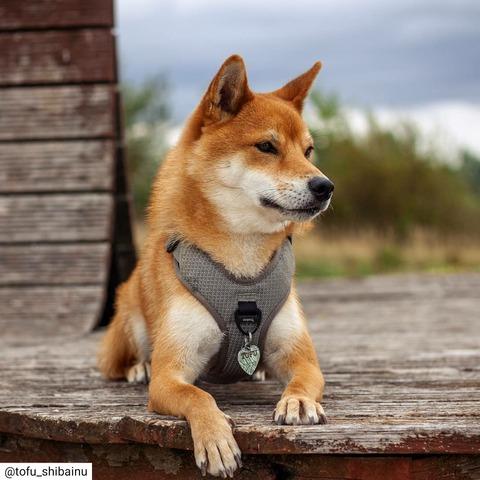 【悲報】柴イヌ、ユーチューブでの再生数もCM起用も圧倒的なのに飼い犬数はチワワに負ける